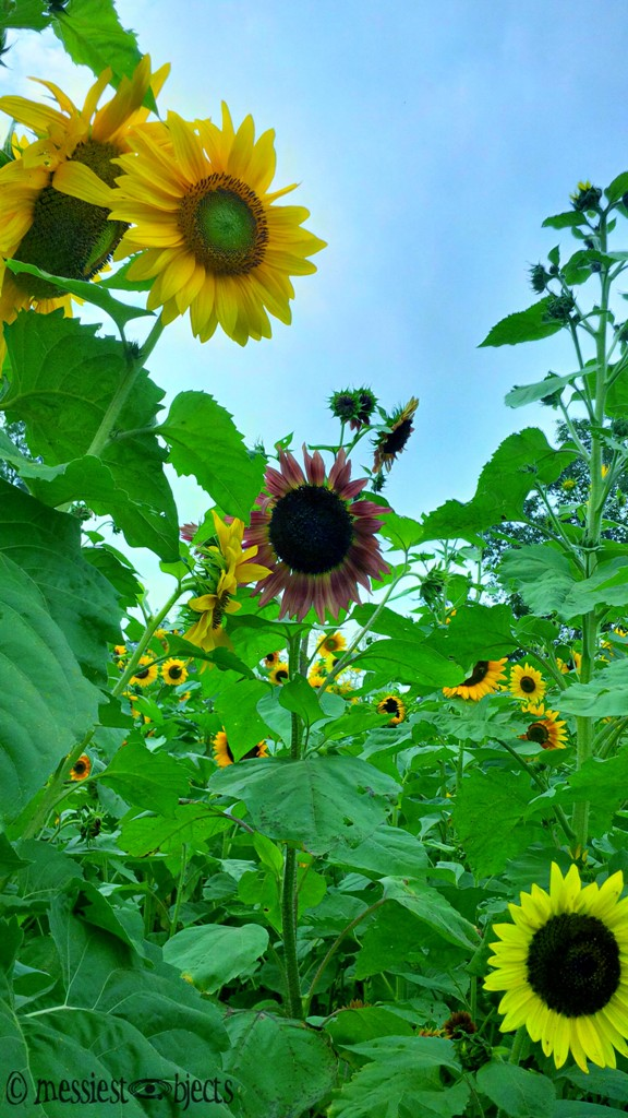 Sunflowers in New Jersey