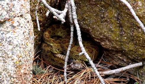Devils_tower_53_rattlesnake