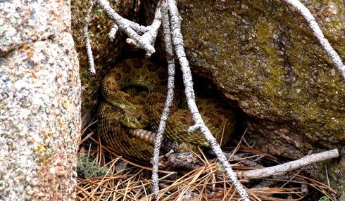 Devils_tower_53_rattlesnake
